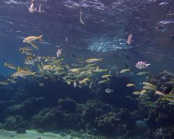 parmice žlutoploutvá - Mulloidichthys vanicolensis - yellowfin goatfish