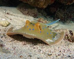 trnucha modroskvrnná - Taeniura lymma - bluespotted ribbontail ray