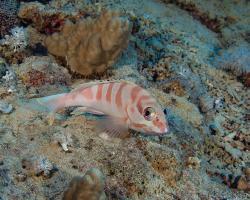 kanic proužkatý - Epinephelus fasciatus - Blacktip grouper