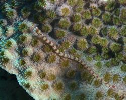 jehla síťovaná - Corythoichthys flavofasciatus - Network pipefish