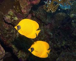klipka pološkrabošková - Chaetodon semilarvatus - blue-cheeked butterflyfish