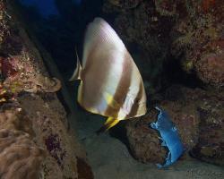 netopýrník obecný - Platax orbicularis - Orbicular batfish