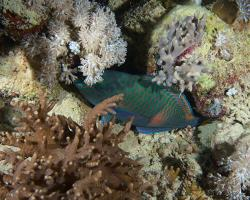 ploskozubec tupohlavý - Chlorurus sordidus - Daisy parrotfish
