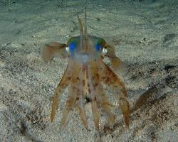 oliheň - Sepioteuthis lessoniana - bigfin reef squid