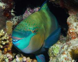ploskozubec černohlavý - Scarus ferrugineus - Rusty parrotfish