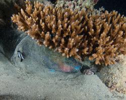 ploskozubec tupohlavý (v ochranné bublině) - Chlorurus sordidus - Daisy parrotfish