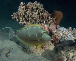 bodlok půvabný - Naso elegans - Elegant unicornfish