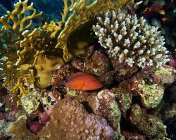 kanic modroskvrnný - Cephalopholis miniata - Coral hind
