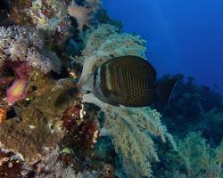 bodlok Desjardinův - Zebrasoma desjardinii - Indian sail-fin surgeonfish