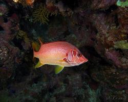 pruhatec velký - Sargocentron spiniferum - Sabre squirrelfish