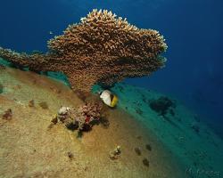 klipka praporková - Chaetodon auriga - Threadfin butterflyfish