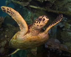 kareta pravá - Eretmochelys imbricata - hawksbill sea turtle