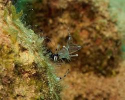 kreveta - Periclimenes longicarpus - shrimp