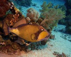 ostenec zelenavý - Balistoides viridescens - titan triggerfish