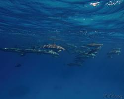 delfín dlouholebý - Stenella longirostris - spinner dolphin