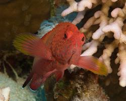 kanic rudomořský - Cephalopholis hemistiktos - Yellowfin hind