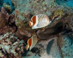 klipka rudoskvrnná - Chaetodon paucifasciatus - Crown Butterflyfish