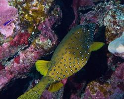 havýš žlutohnědý - Ostracion cubicus - Yellow boxfish