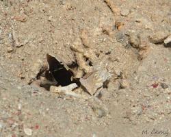 hlaváč vějířoploutvý - Lotilia graciliosa - Whitecap goby