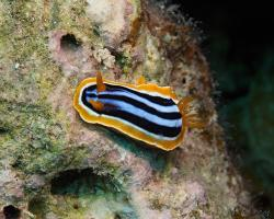 hvězdnatka čtyřbarevná - Chromodoris quadricolor - dorid nudibranch
