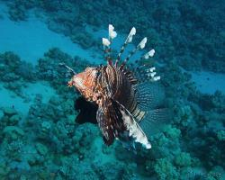 perutýn ďábelský - Pterois miles - common lionfish or devil firefish