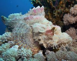 ropušnice ostrohlavá - Scorpaenopsis oxycephala - Tassled scorpionfish
