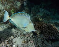 bodlok jednorohý - Naso unicornis - Bluespine unicornfish