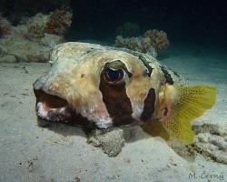 ježík černoskvrnný - Diodon liturosus - Black-blotched porcupinefish