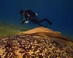 štítovec lodivod - Echeneis naucrates - Live sharksucker