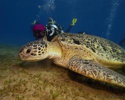 kareta obrovská - Chelonia mydas - green sea turtle