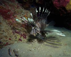 perutýn ďábelský - Pterois miles - Devil firefish