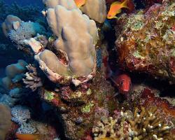 bradáč šupinoploutvý - Pseudanthias squamipinnis - Sea goldie