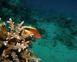 štětičkovec Forsterův - Paracirrhites forsteri - Blackside hawkfish