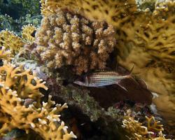 pruhatec skvrnoploutvý - Neoniphon sammara - Sammara squirrelfish