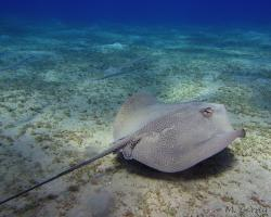 trnucha leopardí - Himantura uarnak - reticulate whipray or honeycomb stingray